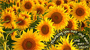 Folding Printable Sunflower Thank You Cards